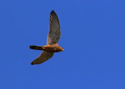Indonesia_kestrel