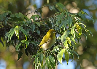 Mountine-white-eye-Golo-Lusang
