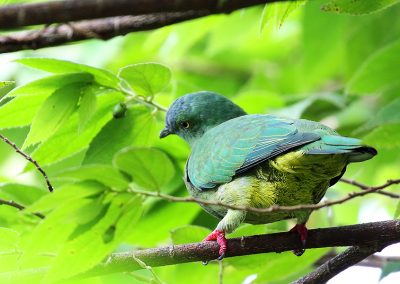halmahera-blue-capped-fruitdove