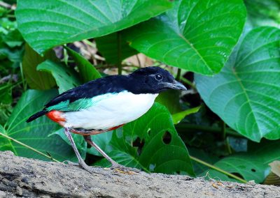 halmahera-ivory-breasted-pitta