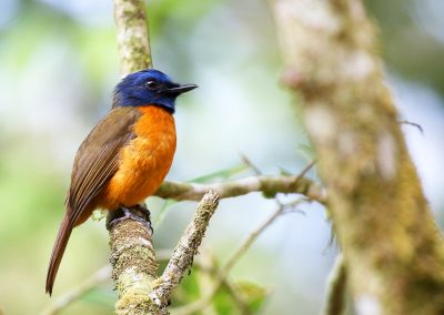 lore-lindu-BlueFronted-Flycatcher