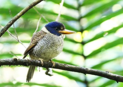 tomohon-Scaly-KIngfisher