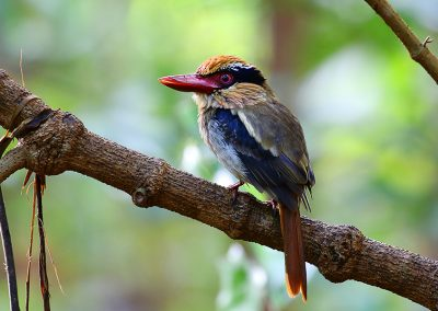 tomohon-tangkoko-Lilac-Kingfisher