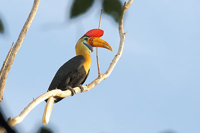 Red-Knobbed-Hornbill