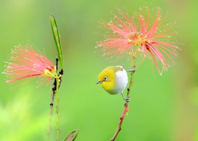 Mountine-white-eye-flores