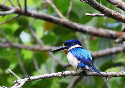 halmahera-blue-and-white-kingfisher