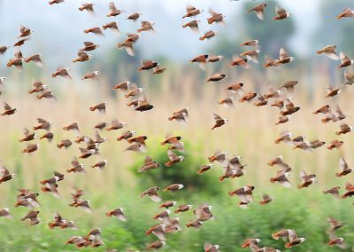 lore-lindu-Pale-headed-Munia