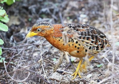 lore-lindu-Red-backed-Butonquail