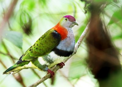 papua-superb-fruit-dove