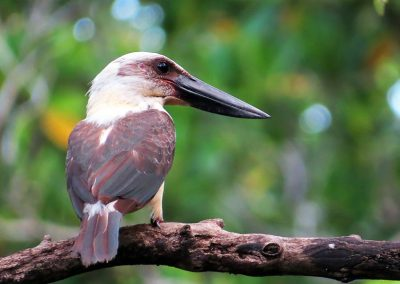 Great Billed Kingfisher