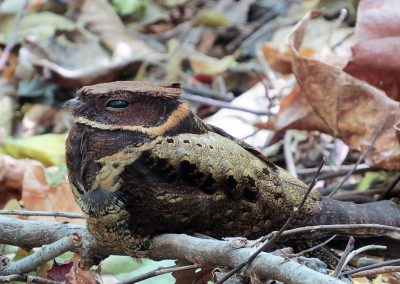 tangkoko-tomohon-Greateared-Nightjar