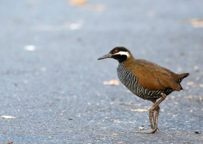 tomohon-Barred-Rail